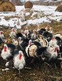 Amusing turkeys on a farm. Amusing and funny turkeys on a farm show trust and curiosity royalty free stock images