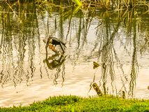 Anhinga Looking for a Fish. Amusing waterscape of an anhinga perching on a dead branch in a Florida marsh with its head submerged into the water stock photo