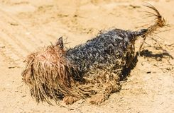Amusing Yorkshire Terrier dog playing at beach smudged in sand stock image