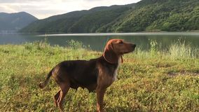 Amusing young beagle female dog with long ears, playful puppy, chase and look straight, happily spend time outing at. Amusing young beagle dog with long flying stock video footage