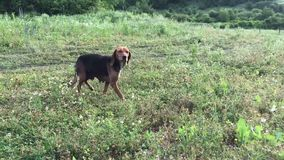 Amusing young beagle female dog with long ears, playful puppy, chase and look straight, happily spend time outing at. Amusing young beagle dog with long flying stock video
