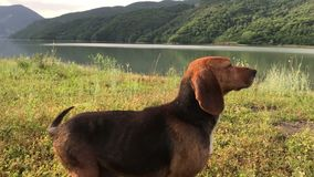 Amusing young beagle female dog with long ears, playful puppy, chase and look straight, happily spend time outing at. Amusing young beagle dog with long flying stock footage