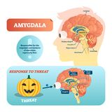 Amygdala medical labeled vector illustration and scheme with response to threat. Amygdala medical labeled vector illustration. Anatomical scheme with visual royalty free illustration