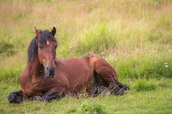 Amzing horse is laying on the meadow Stock Image