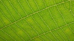 Análise verde da folha filme