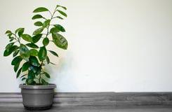 Anão alaranjado crescido em uns potenciômetros na casa para uma decoração bonita e natural Espa?o para o texto ilustração stock