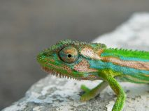 Anão Cameleon do cabo Foto de Stock