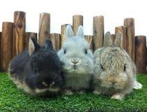 Anão do netherland de três coelhos do bebê imagens de stock