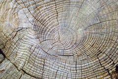 Anéis de árvore 1 Foto de Stock Royalty Free