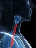 Anéis tracheal destacados Imagens de Stock