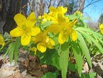 Anémona amarilla (ranunculoides de la anémona) Fotos de archivo