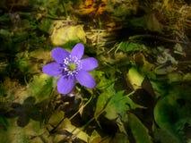 Anémona azul Foto de archivo libre de regalías