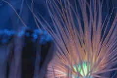 Anémona bioluminiscente Fotos de archivo libres de regalías