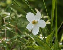 Anémona blanca después de la lluvia Gotitas de agua en una flor y una cuchilla de la hierba imagen de archivo libre de regalías