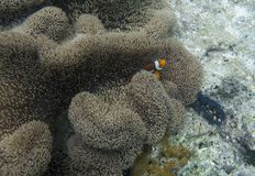 Anémona con clownfish en la isla de Togian Imagen de archivo libre de regalías