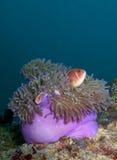 Anémona con los pescados de anémona rosados Fotografía de archivo libre de regalías
