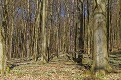 Anémona de madera Foto de archivo