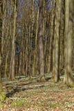Anémona de madera Fotografía de archivo libre de regalías