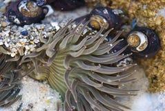 Anémona de mar Fotografía de archivo libre de regalías