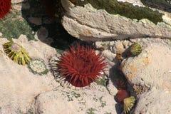 Anémona de mar en una piscina de la roca con las lapas Imagen de archivo libre de regalías