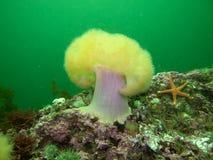 Anémona de mar norteña Fotografía de archivo
