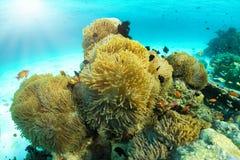 Anémona de mar tropical con clownfish en el Océano Índico fotografía de archivo