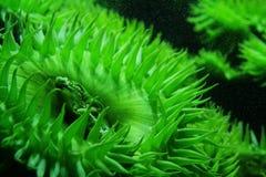 Anémona de mar verde - acuario de Boston Fotografía de archivo libre de regalías