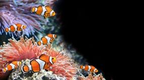 Anémona de mar y pescados del payaso fotos de archivo libres de regalías