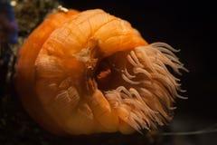 Anémona del abalorio (actinia equina) Foto de archivo