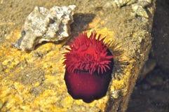 Anémona del abalorio de la anémona de mar. Imagen de archivo