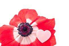 Anémona en marca del corazón Fotografía de archivo libre de regalías