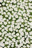 Anémona japonesa blanca Imagen de archivo libre de regalías