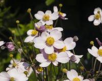 Anémona japonesa, hupehensis de la anémona, flores en el primer del macizo de flores, foco selectivo, DOF bajo Imagen de archivo