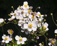 Anémona japonesa, hupehensis de la anémona, flores en el primer del macizo de flores, foco selectivo, DOF bajo Fotos de archivo libres de regalías