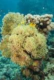 Anémona magnífica con los clownfishes. Imágenes de archivo libres de regalías