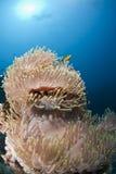 Anémona magnífica en una escena subacuática. Foto de archivo
