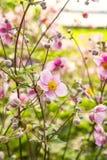 Anémona rosada del chinease Imagenes de archivo