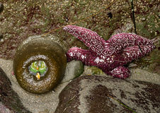 Anémona verde y estrella de mar púrpura Foto de archivo libre de regalías