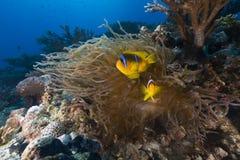 Anémona y clownfish en el Mar Rojo fotografía de archivo