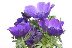 Anémonas azules Imagen de archivo libre de regalías