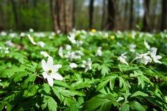 Anémonas blancas en bosque Imágenes de archivo libres de regalías