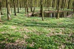 Anémonas blancas en bosque en la charca Imagenes de archivo