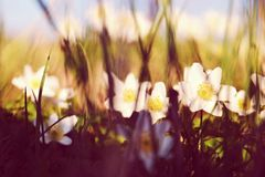 Anémonas bonitas blancas Foto de archivo libre de regalías