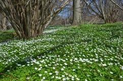 Anémonas de la primavera Fotos de archivo