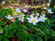 Anémonas de la primavera Foto de archivo