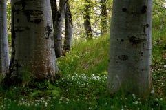 Anémonas de madera Foto de archivo libre de regalías