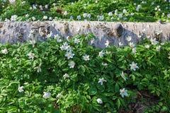 Anémonas de madera florecientes en la primavera Fotografía de archivo libre de regalías