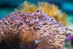 Anémonas de mar Fotografía de archivo libre de regalías
