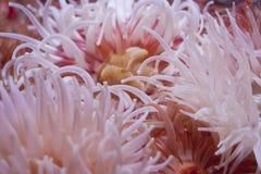Anémonas de mar Imagen de archivo libre de regalías