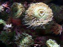 Anémonas de mar Foto de archivo libre de regalías